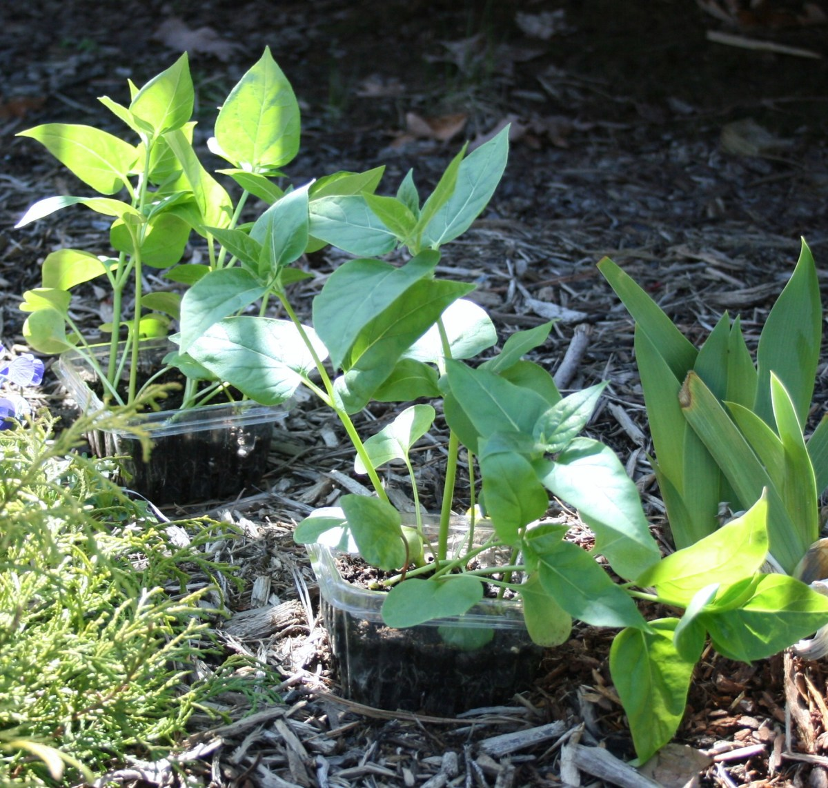 To harden them off before transplanting, seedlings like these four o'clocks are set outside in a warm, shady spot.