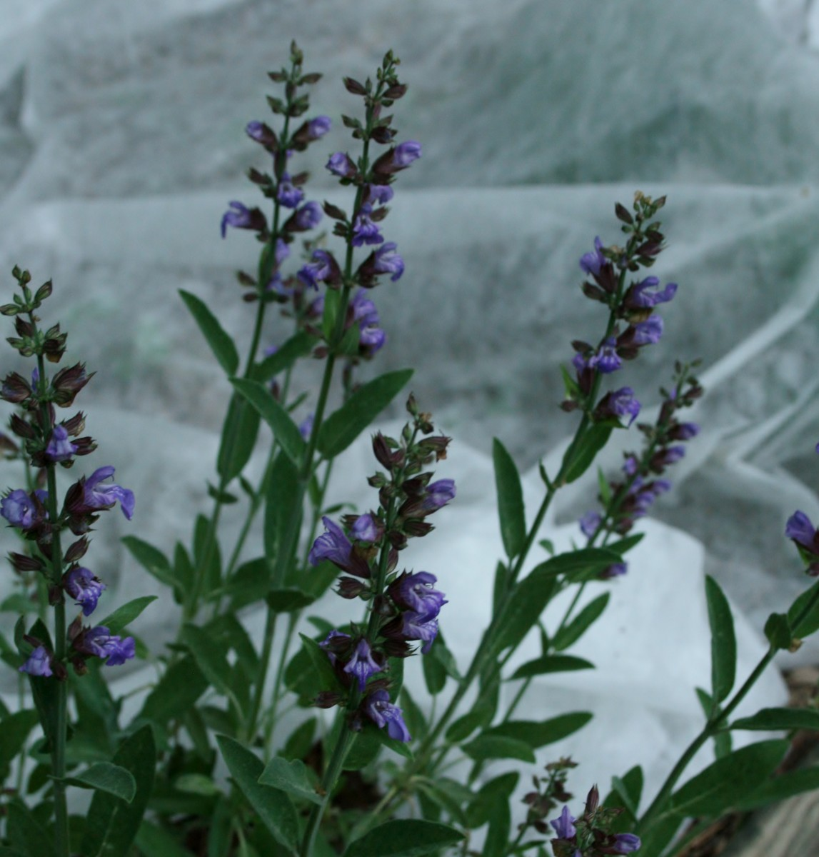 Sage in bloom against a background of Reemay over spring vegetables in our raised garden bed.