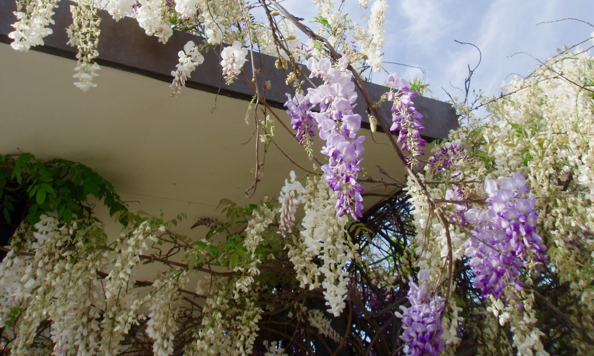 This wisteria is growing over a bus stop that provides a micro-climate for a local bakery. There's just a small piece of poor soil between the bus stop and parking lot, which heats up in full sun, and the wisteria loves it.