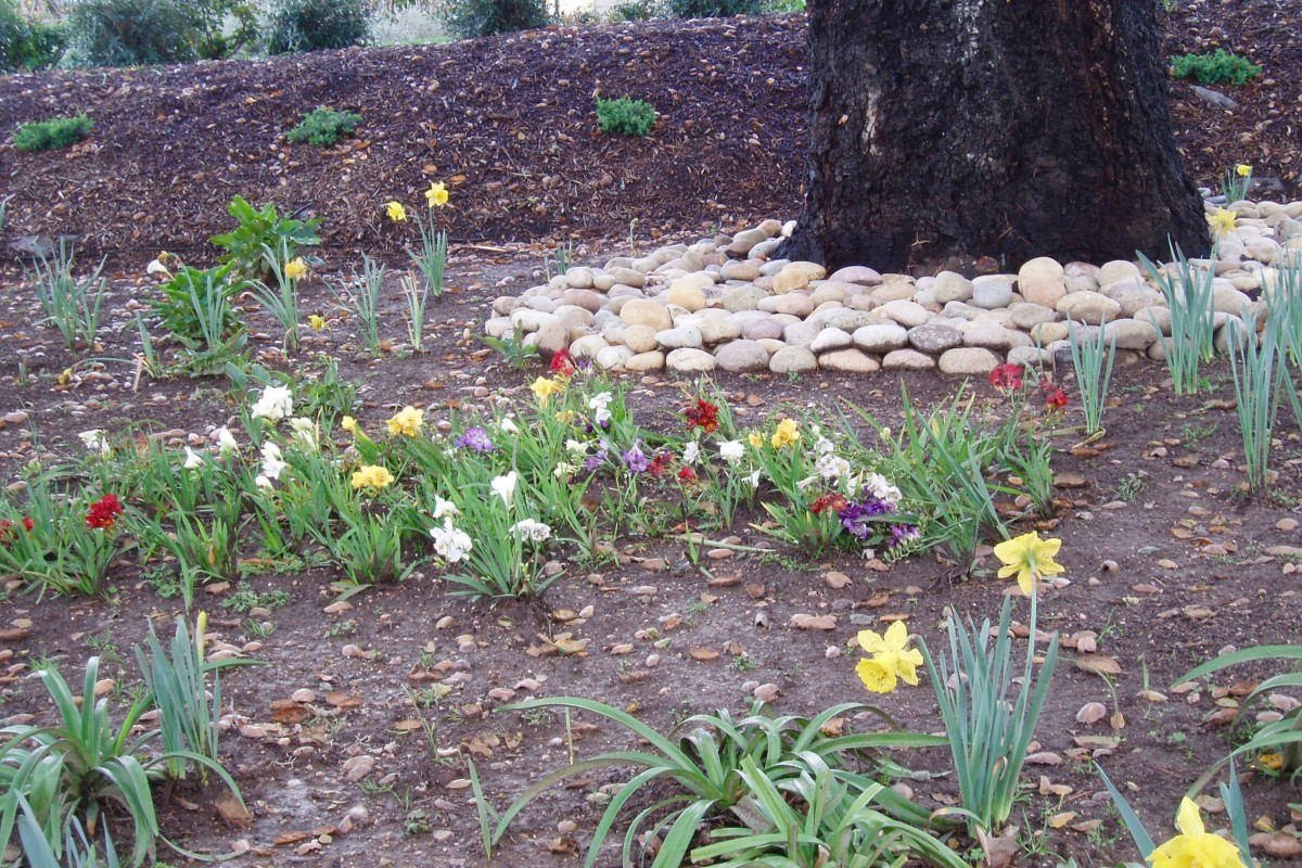 This microclimate  is formed by the dense canopy of the conifer above it and the lower ground level. It allows for more moisture than normal, which helps daffodils, narcissus, and pansies grow in winter when sunlight is slanted.