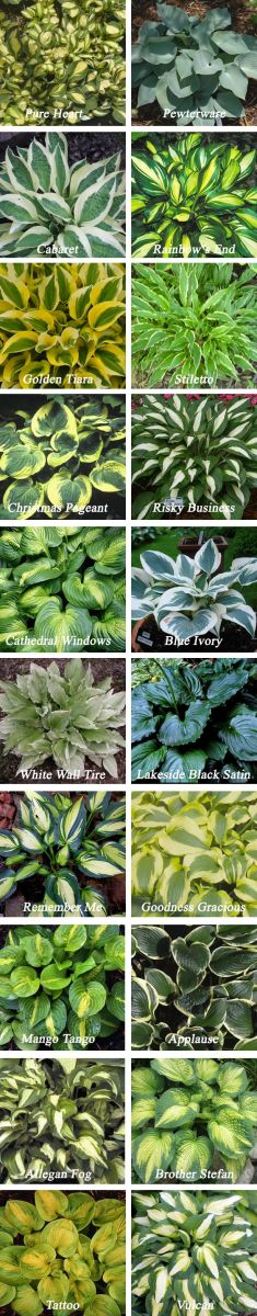 If you are not sure which hosta would look best in your garden, this identification chart should help you decide.
