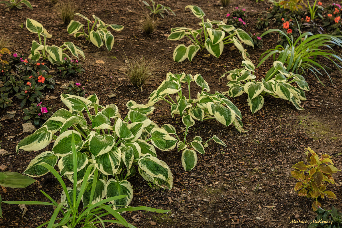 ...and this is the same little hosta a month later.