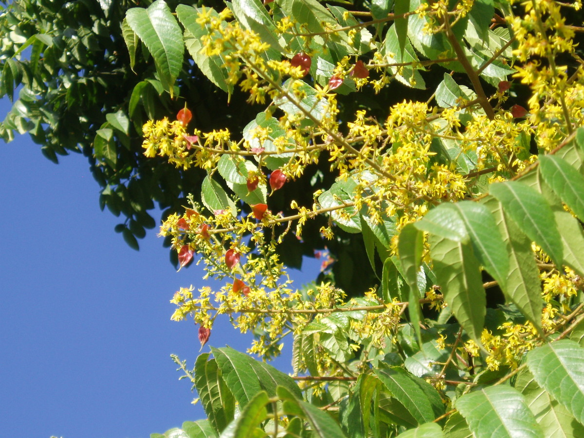 Some trees have nondescript flowers, others have prominent ones. Some tree flowers, like these, have bright red shiny leaves to spark the color.