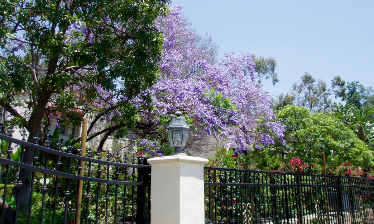This jacaranda with its showy purple flowers is planted near the street, so passersby can see and admire it.