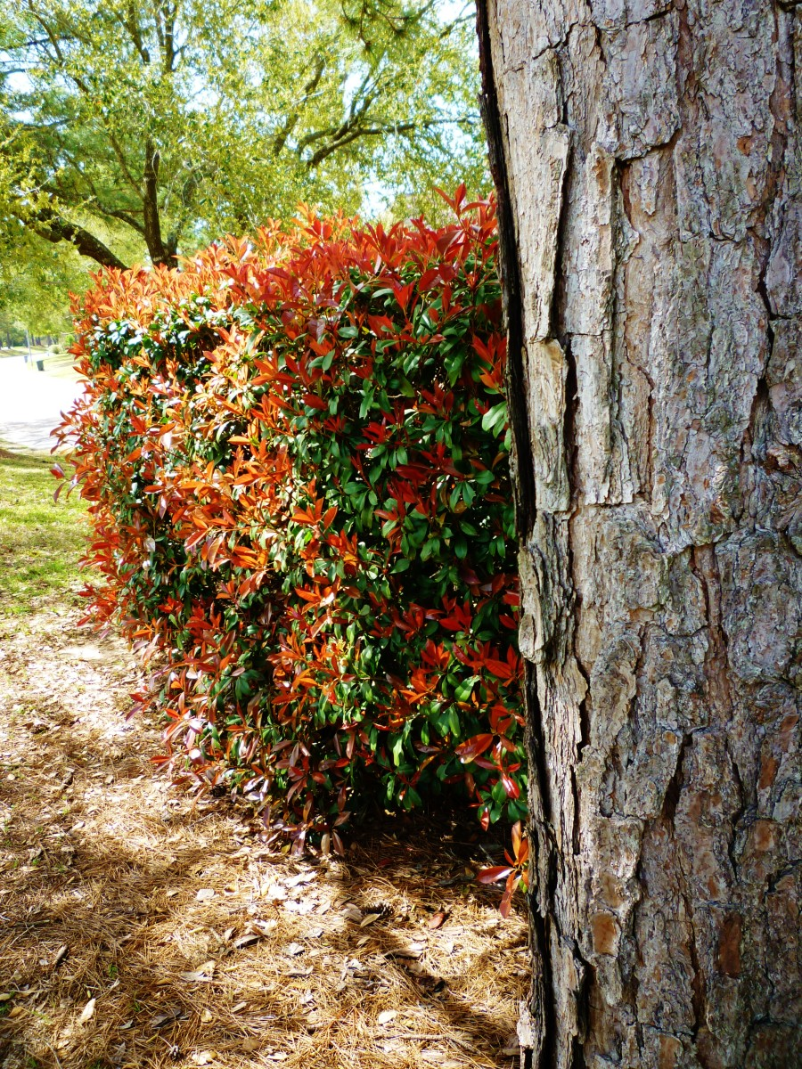 Photinia hedge in the spring.