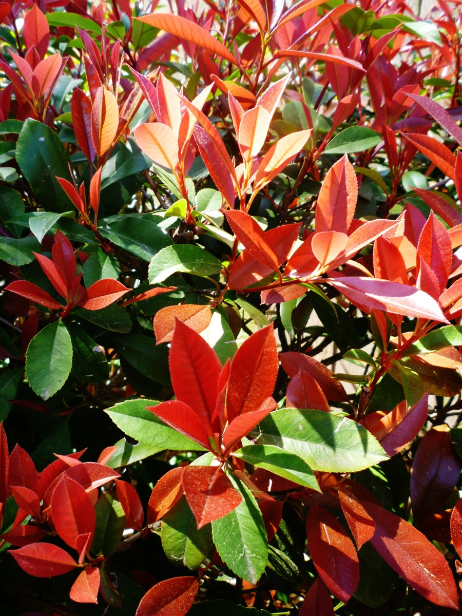 Pretty looking red tipped photinia plants.