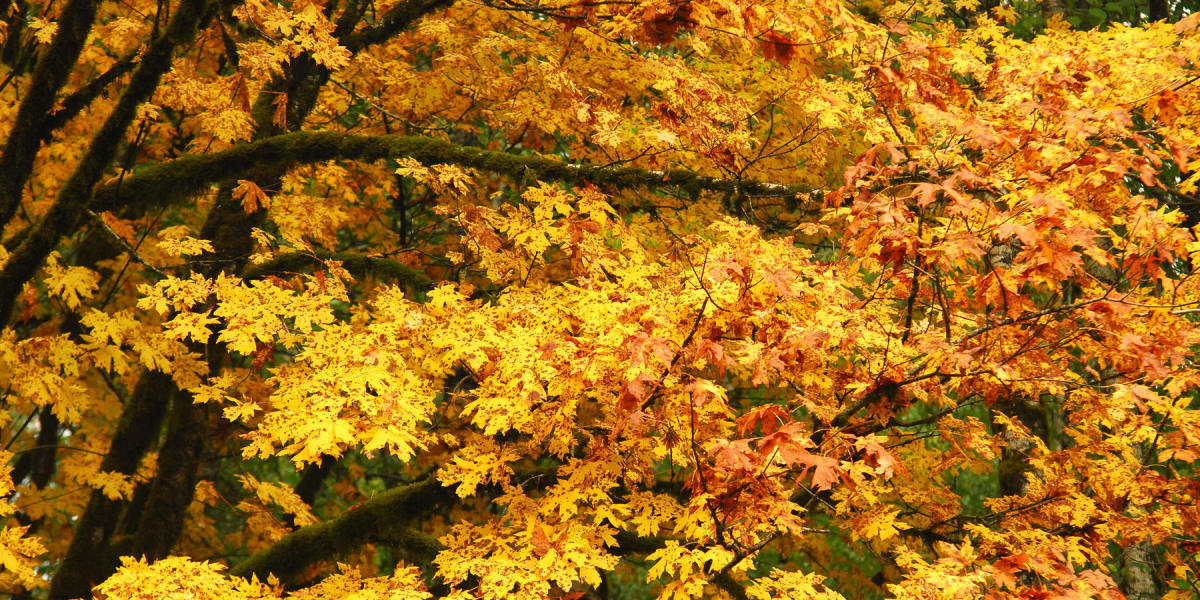 The big-leaf maple tree has the largest leaves of any maple. In the fall, the leaves turn to gold and yellow against a backdrop of evergreen conifers.