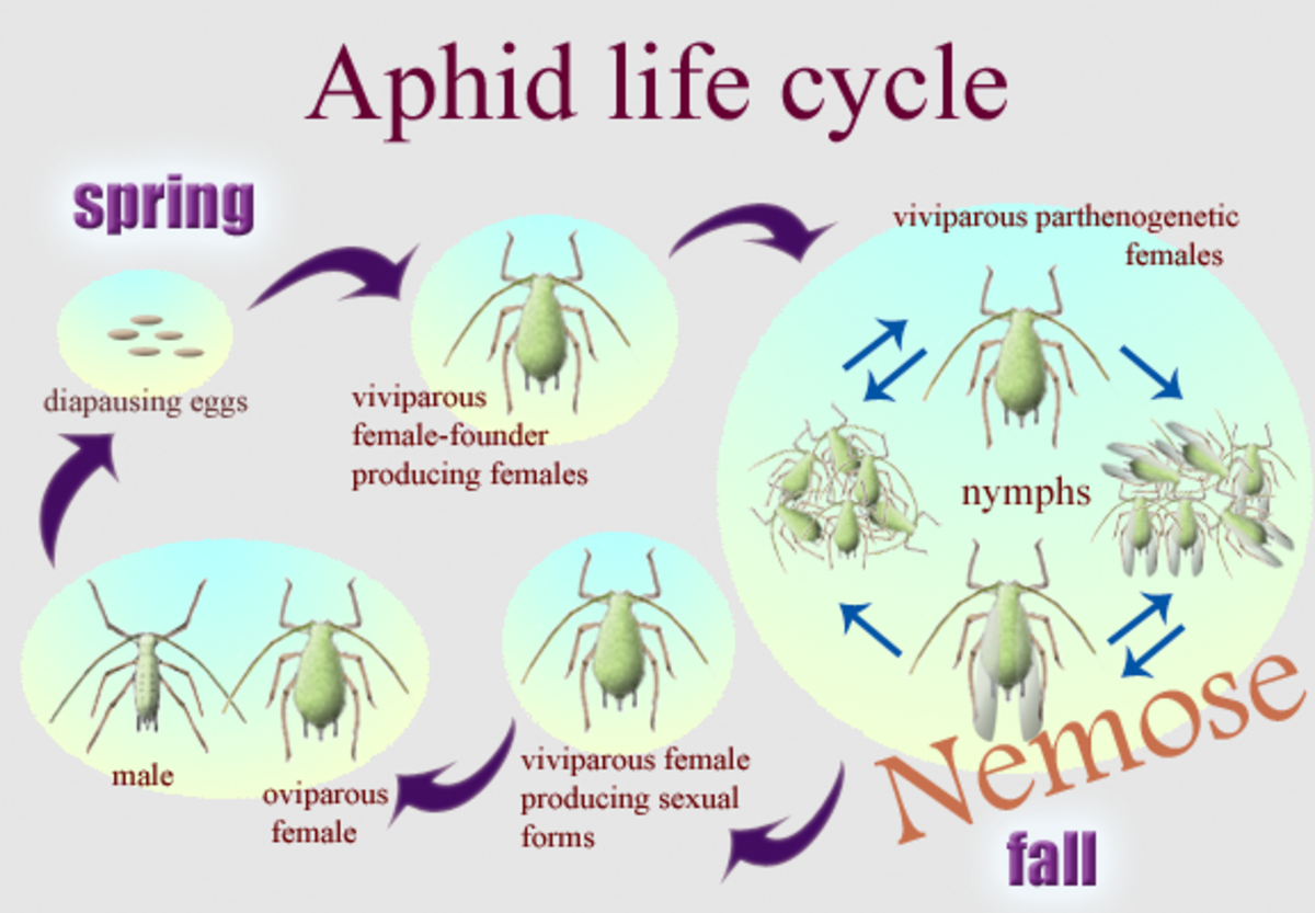how-to-get-rid-of-aphids-in-your-garden