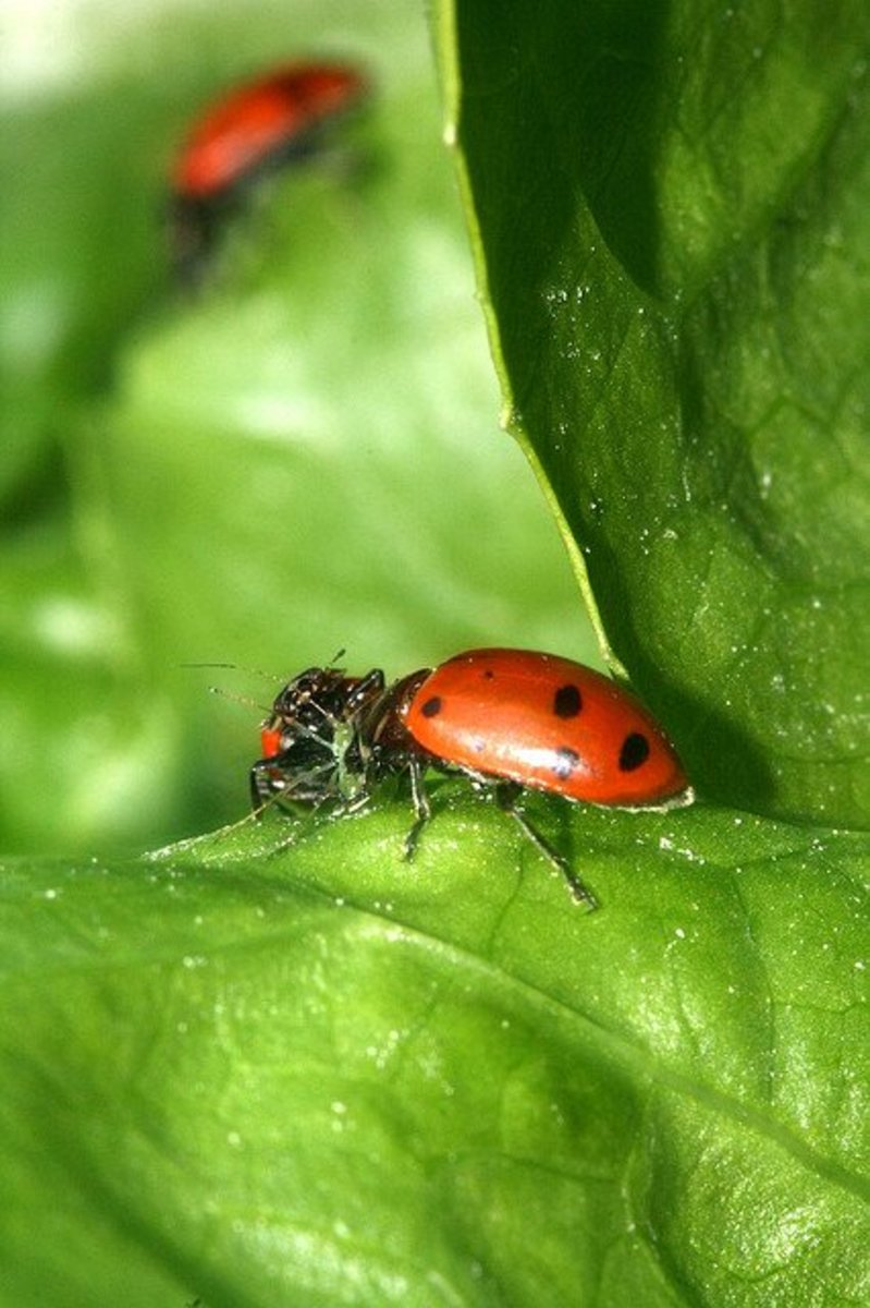 Ladybugs sharing an aphid for lunch.