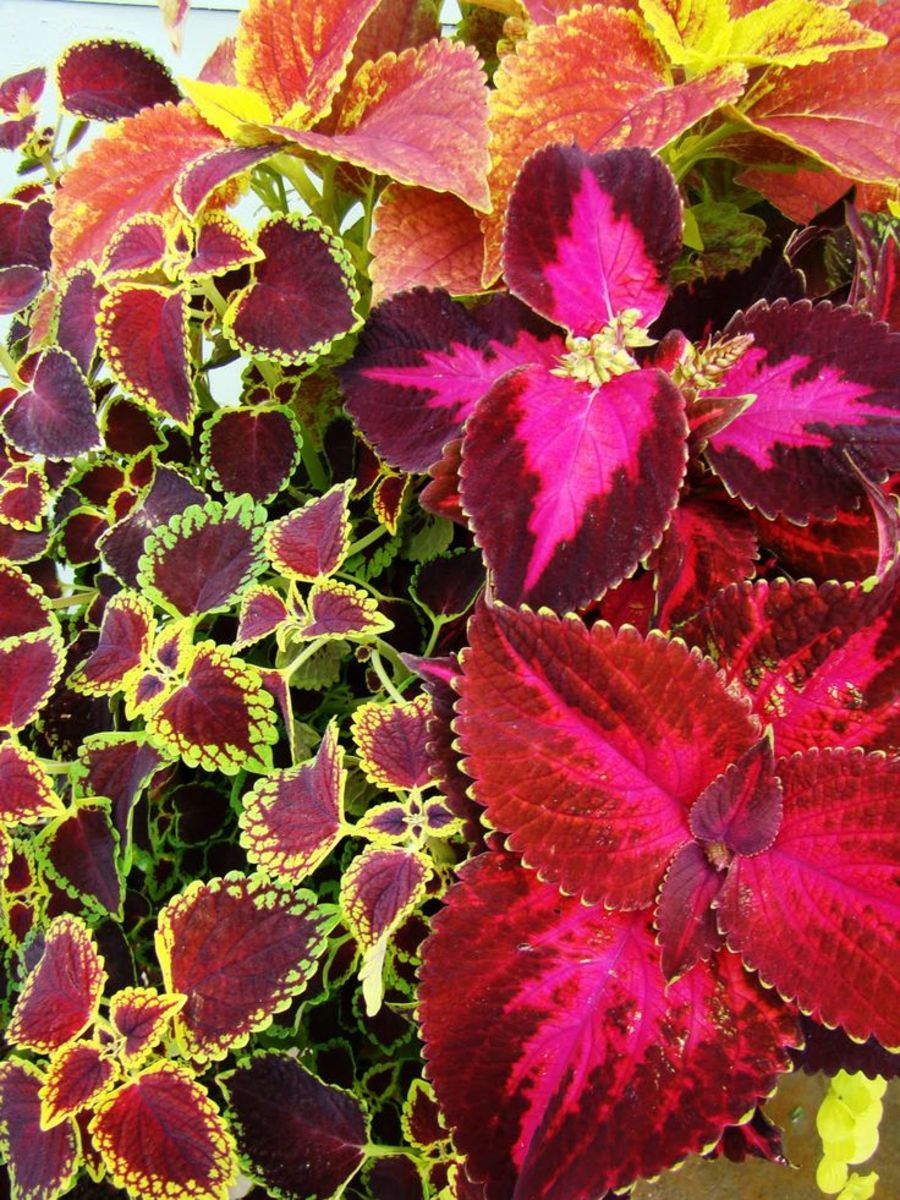 Coleus can be a mixture of bright, brighter and brightest!  Beautiful as a houseplant.