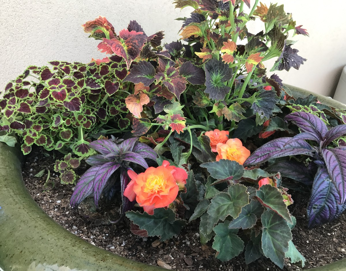 Coleus can be placed in a container with many other plants, and the result is beautiful.