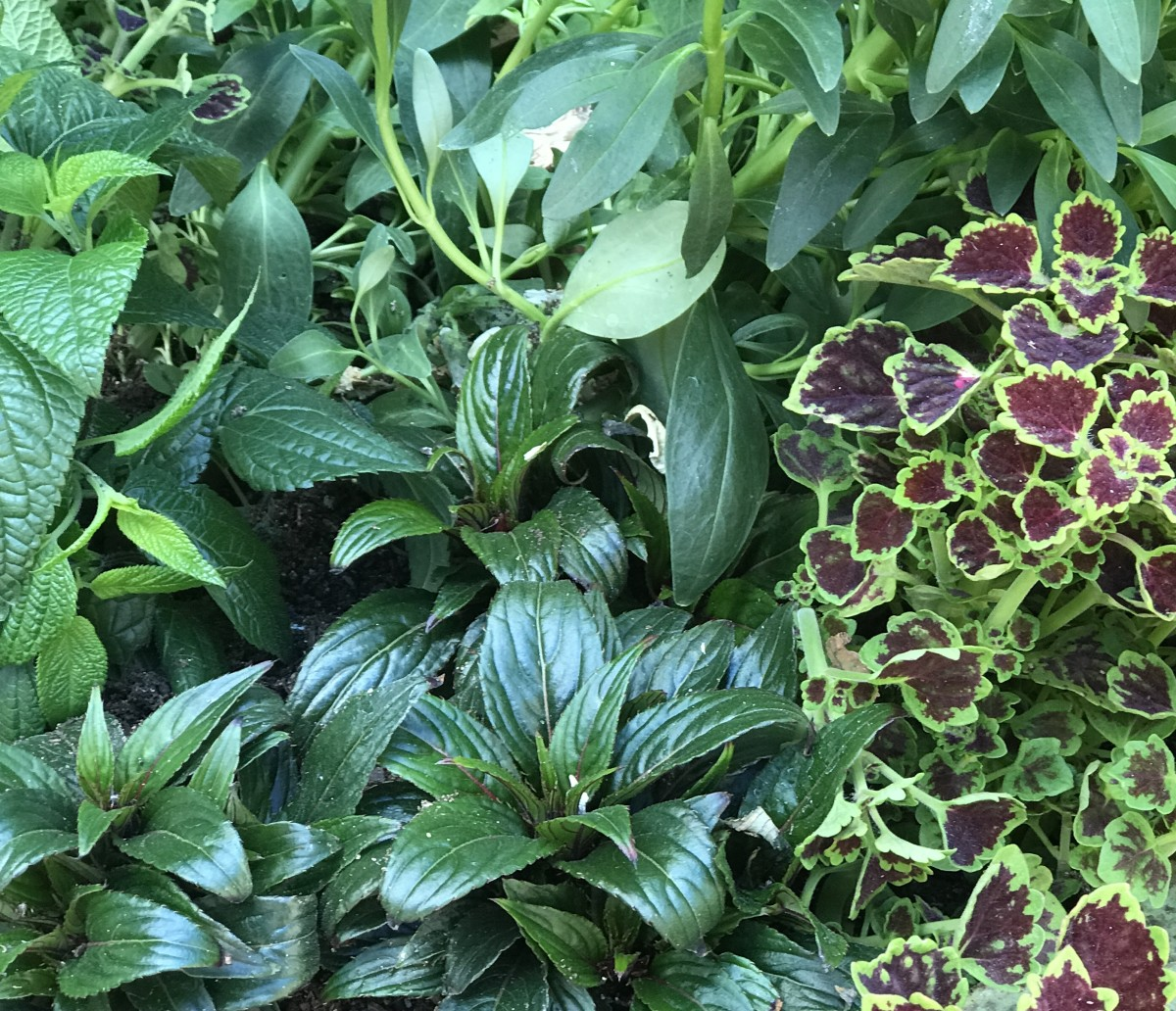 Coleus even makes surrounding foliage look better.