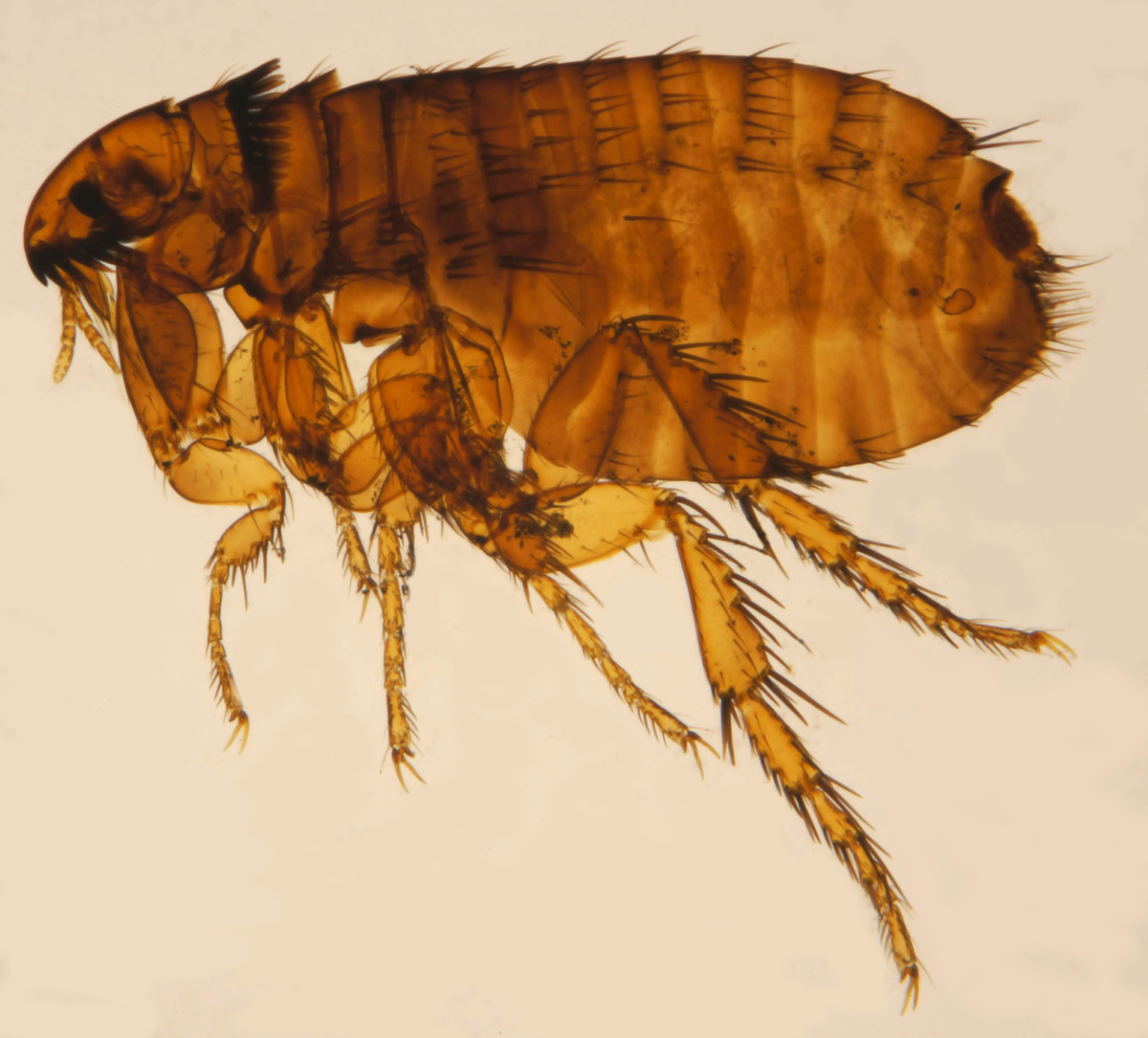 "The common ""cat flea."""