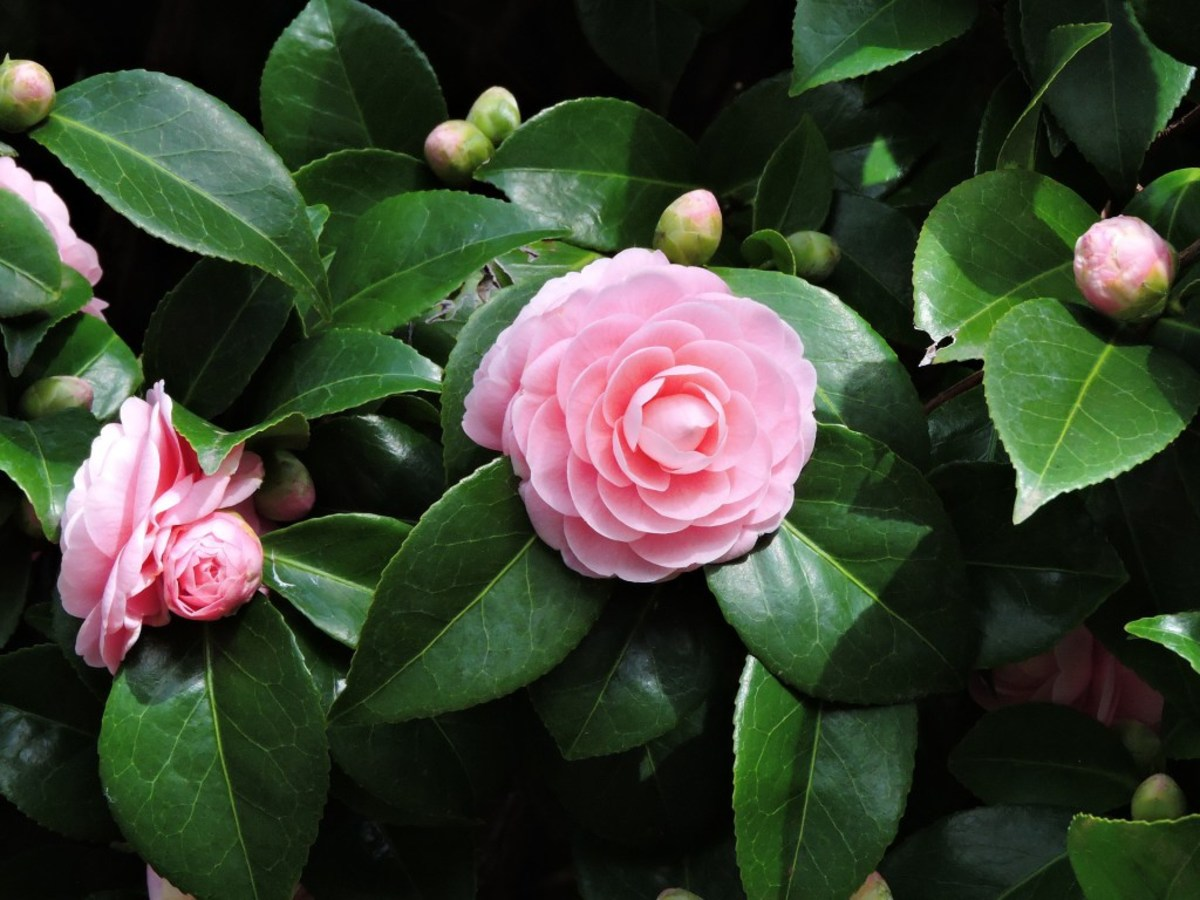 What a beauty this pink camellia is!
