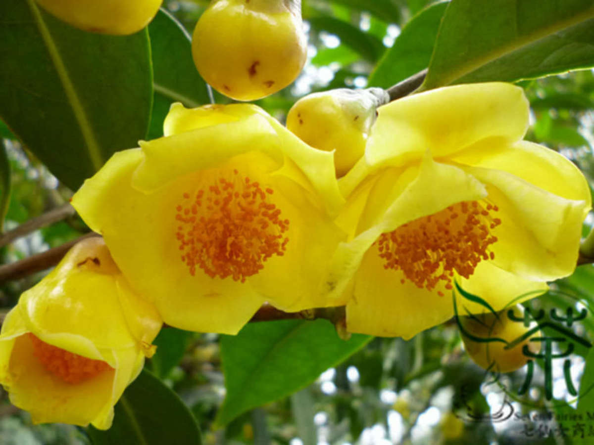 The yellow camellia (Camellia nitidissima) blooms from mid-winter to mid-spring.  These flowers are grown on a shrub or small tree growing up to about 15-16 feet tall.