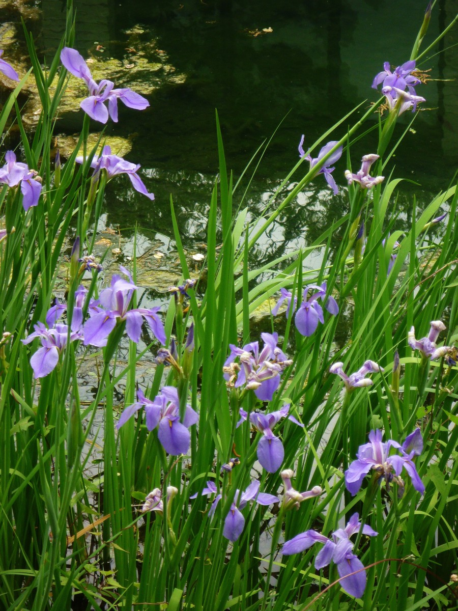 Picture of Louisiana Irises blooming in water.