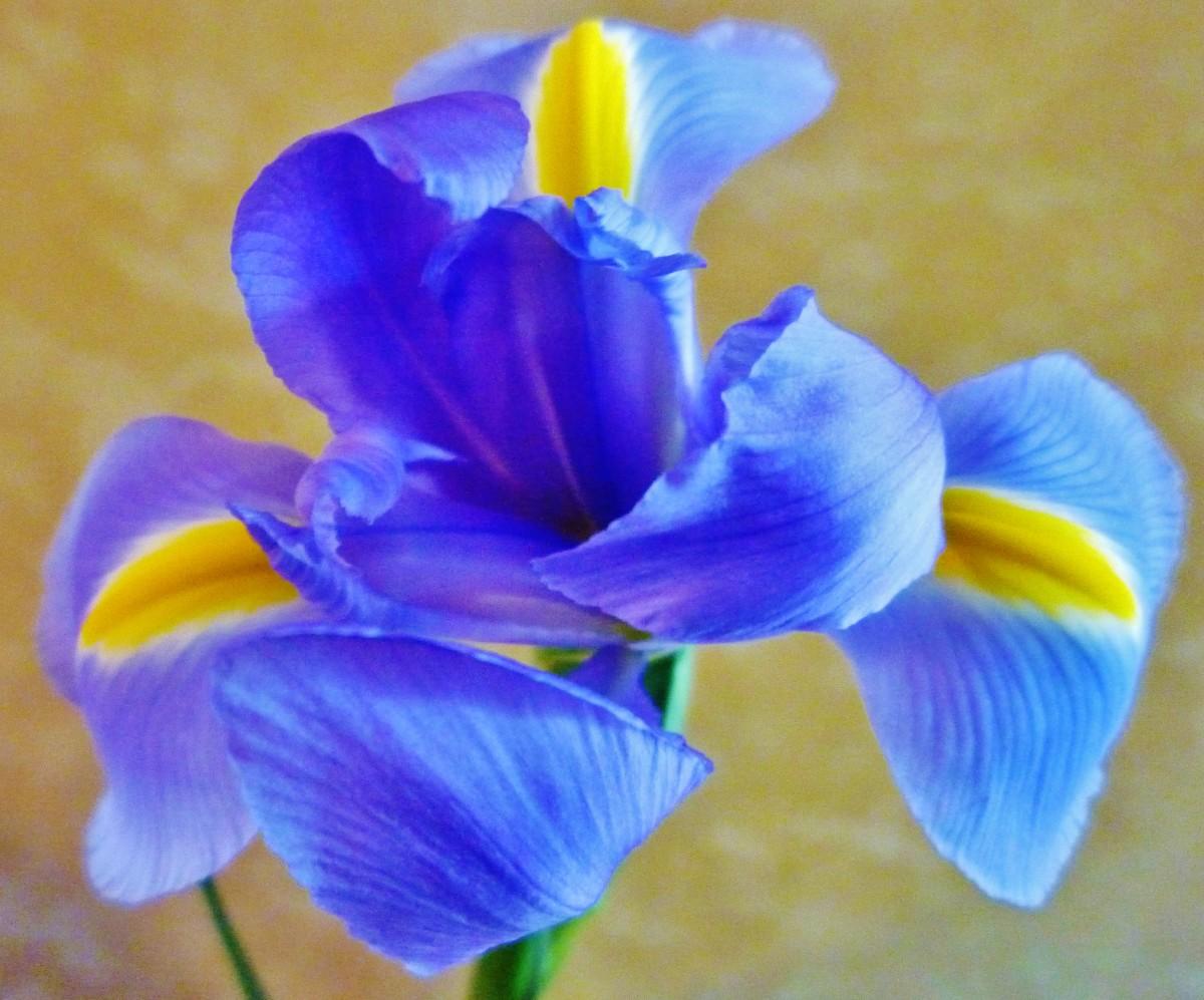 What a beautiful Iris bloom!  Thanks Pat and John!