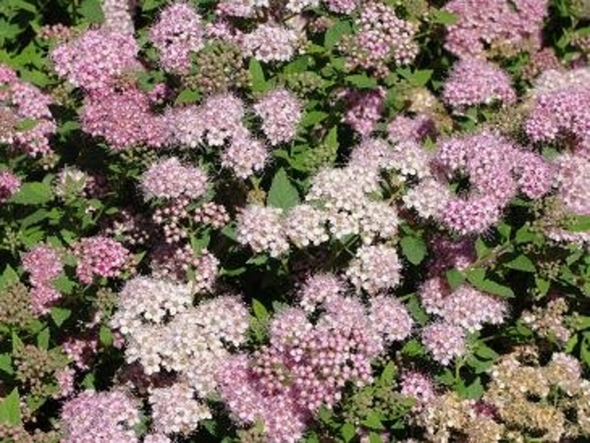 little princess spirea is a proven winner