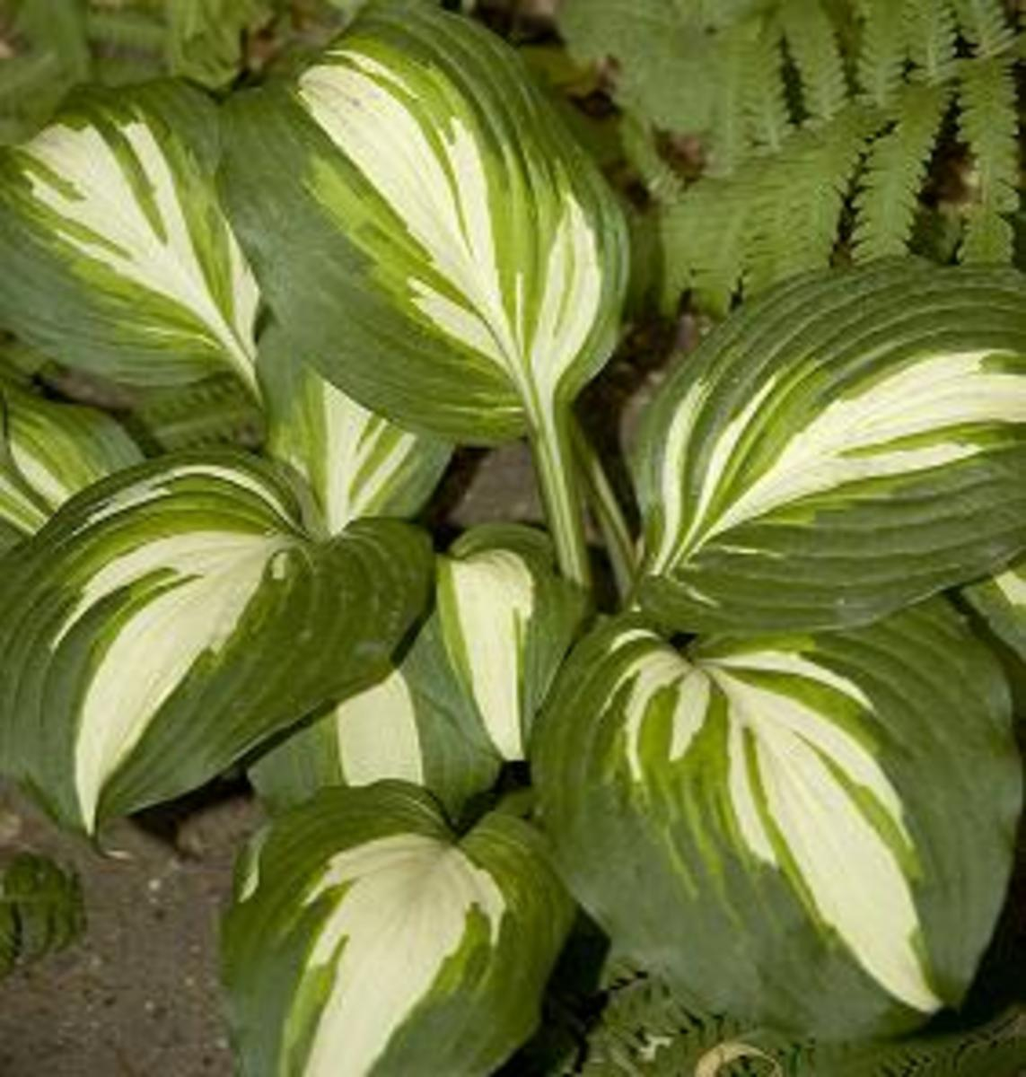 hosta is great in shade