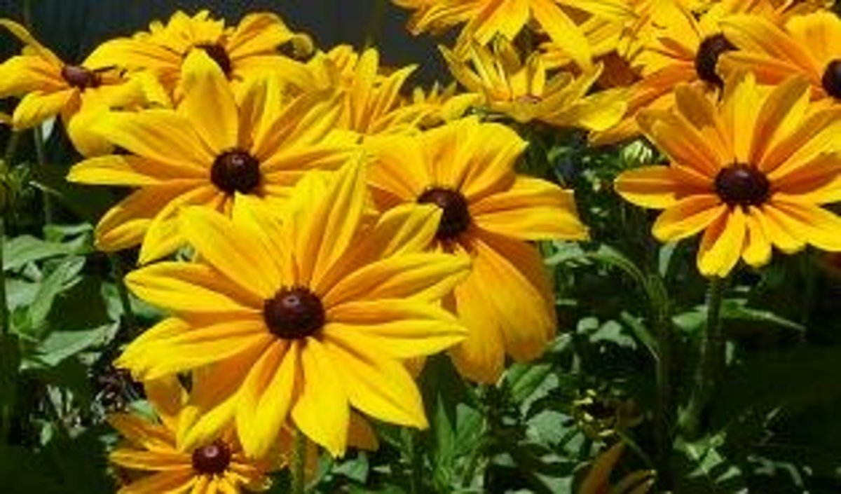 black eyed susan is bright and drought tolerant