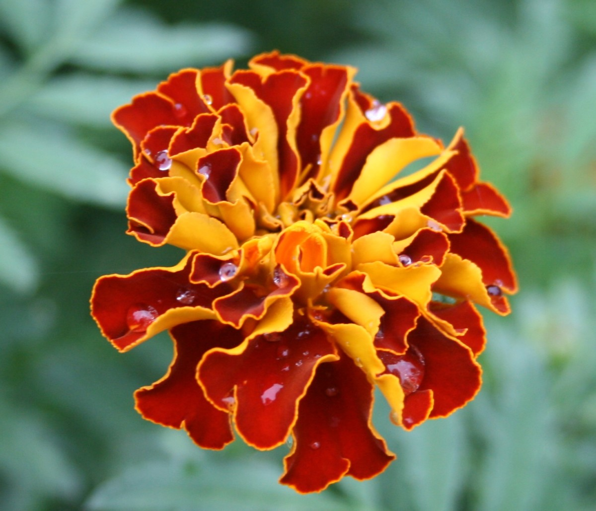 Most French marigolds bloom in combinations of red, yellow and orange.