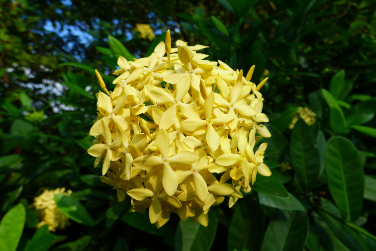A yellow Ixora chinensis