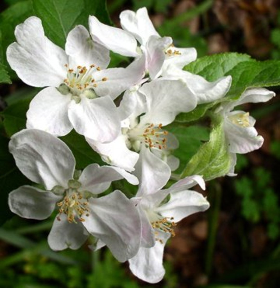 Fuji apple blossoms.