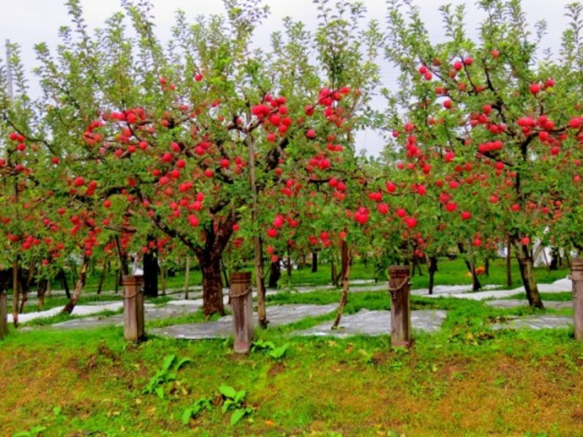 Looks like they know what they're doing in Japan as well!  These Fuji apple trees look great.