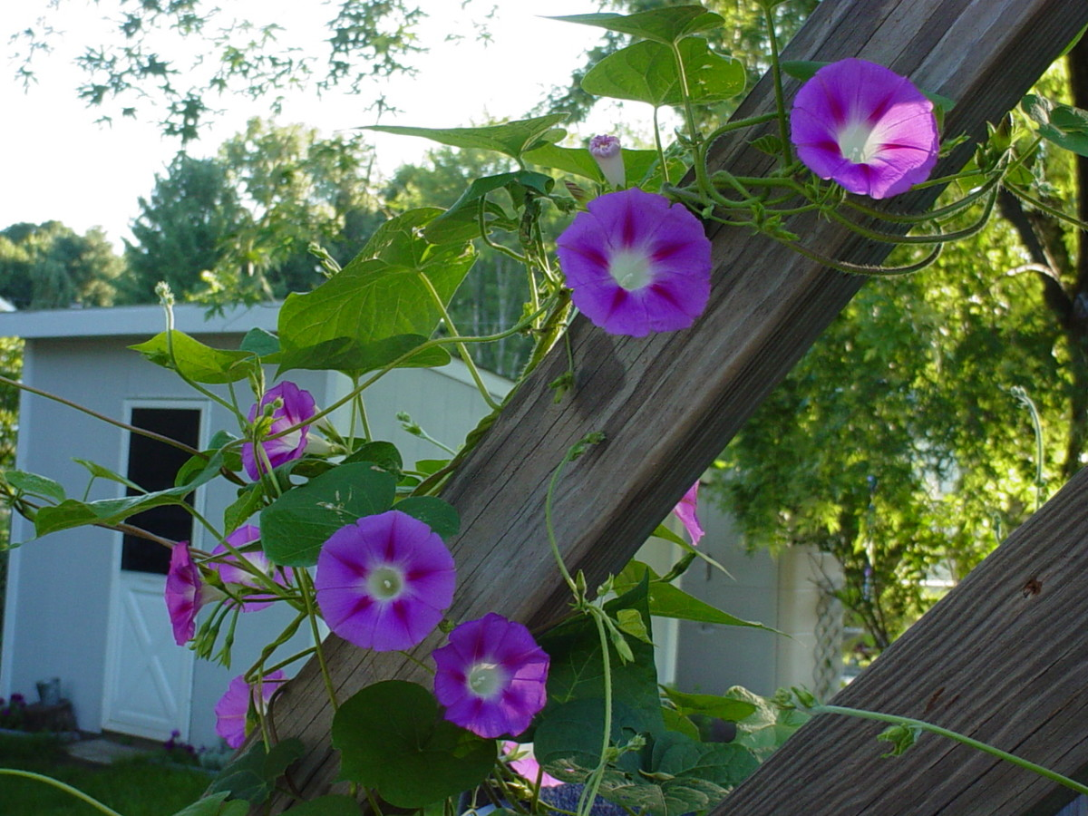 Morning glories - from last year