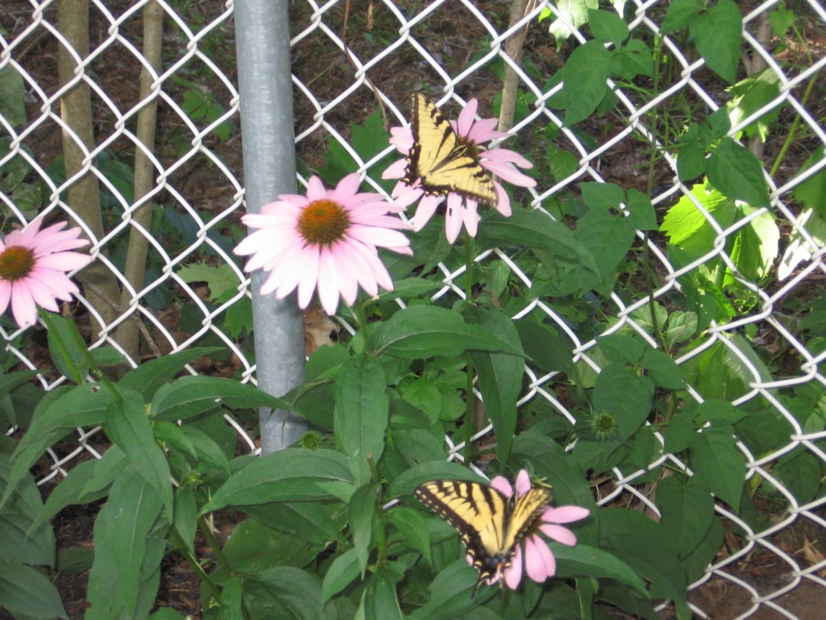 Echinacea/pink coneflower.  Butterflies love early echinacea.