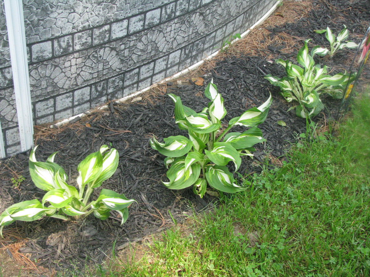 Hosta just planted this year