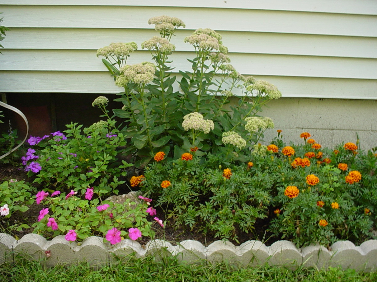 Yarrow in the background, marigolds to the right, and impatiens to the left