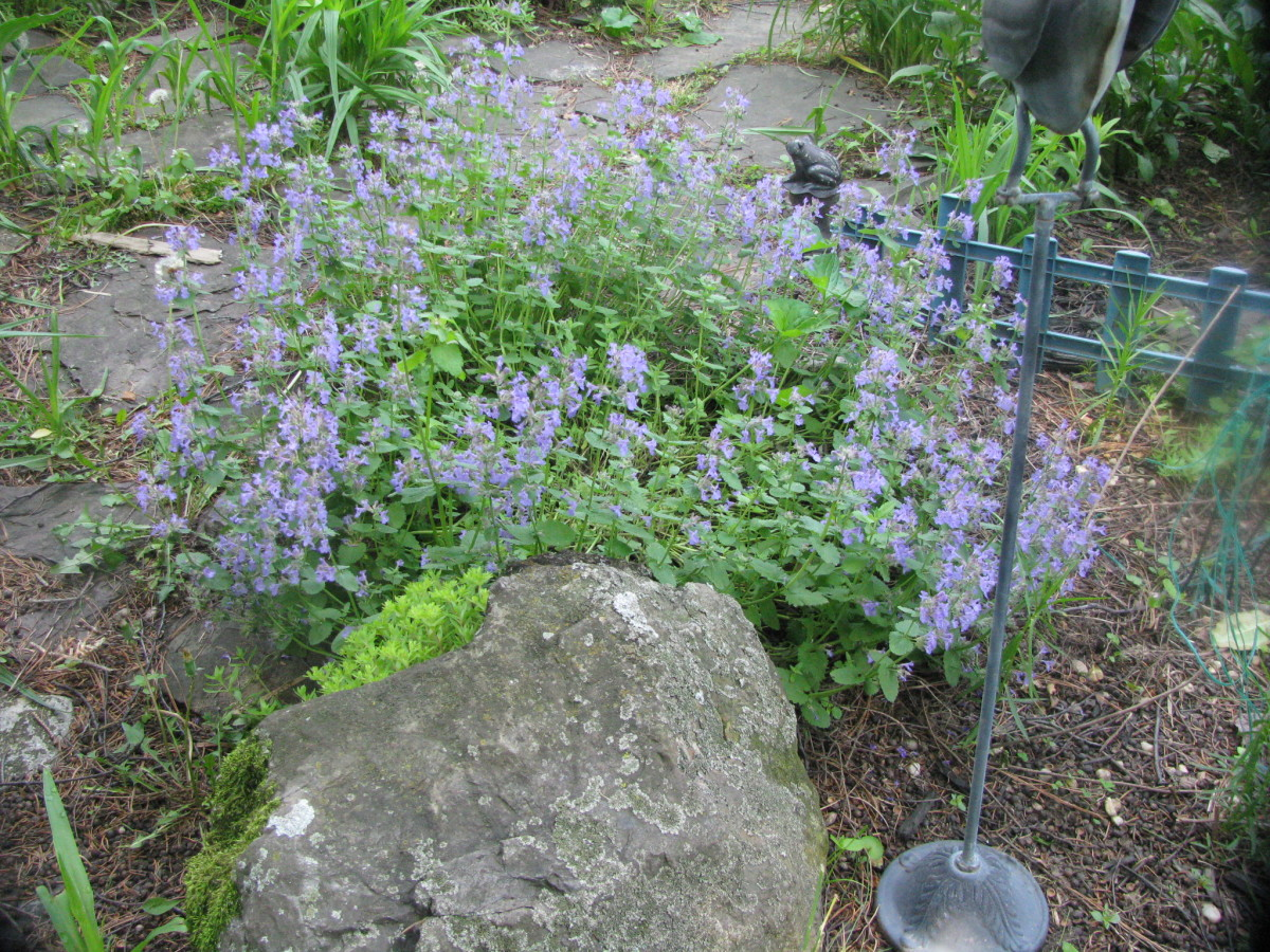 Catmint in full bloom