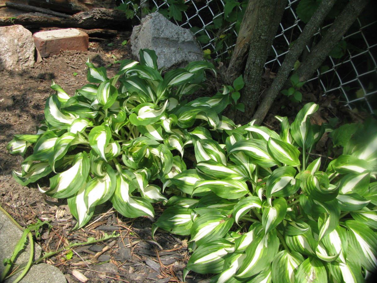 Hostas, well established