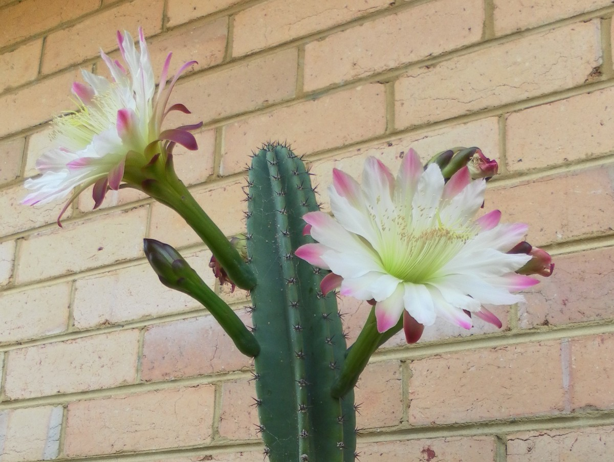 Like most flowering cacti, the Peruvian Apple Cactus blooms only once a year. The flowers bloom for 24 hours only, wilting the next day. Many of these plants can live for many years without producing a single bloom.