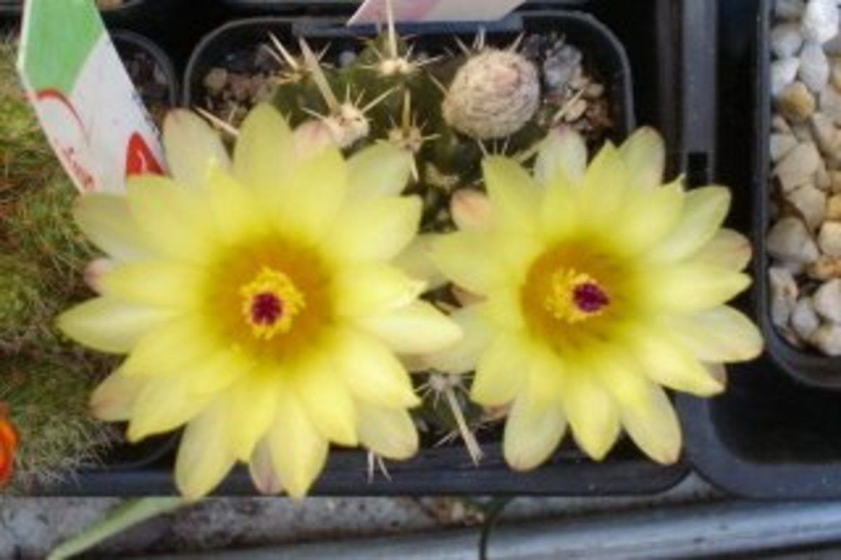 How to Propagate and Grow Flowering Cactus/Cacti Plants