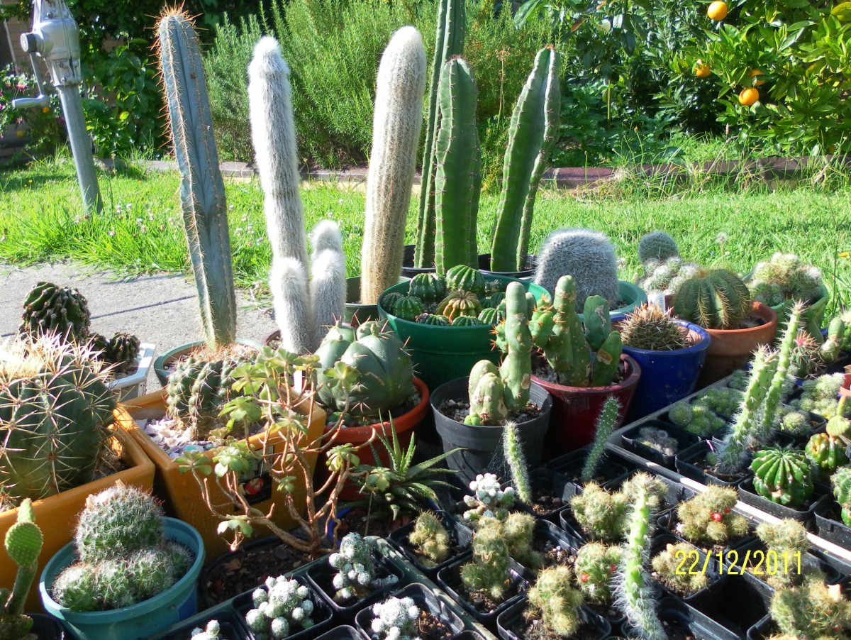 A healthy collection of cactus and succulent plants.