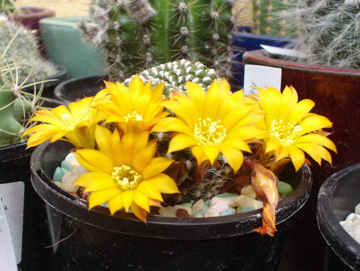 A small species of rebutia cactus with yellow flowers.