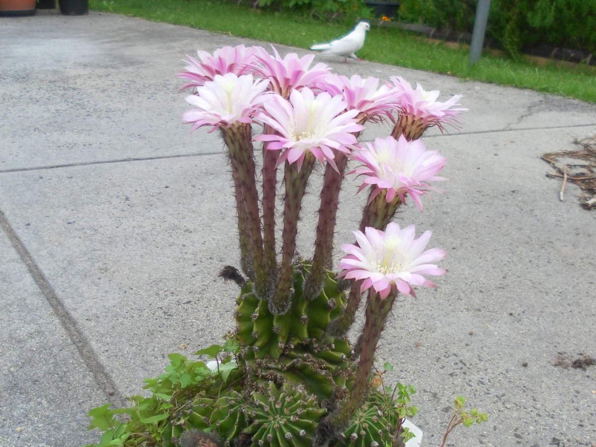 Echinopsis with a display of flower in spring.
