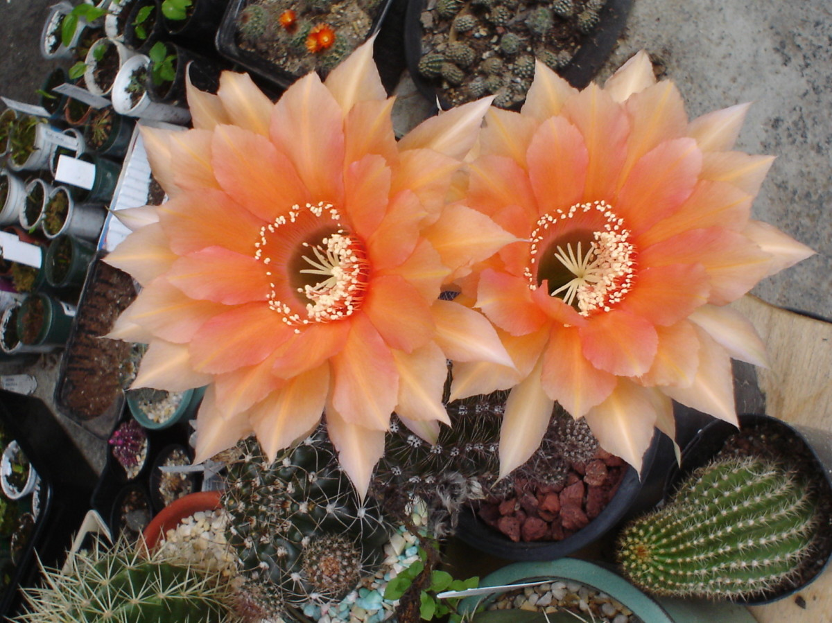 Echinopsis cactus bearing apricot colored flowers after three years of planting.