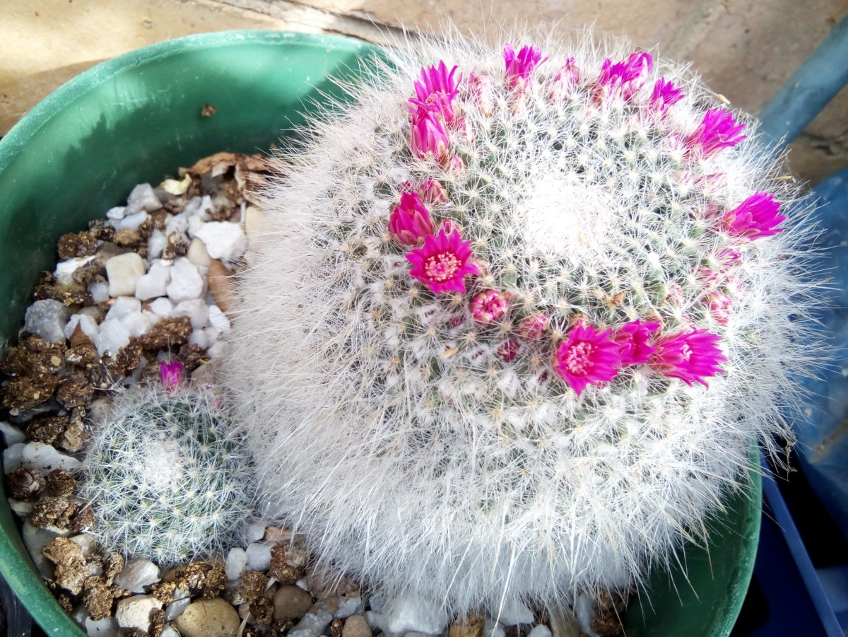 My Old Lady Cactus, a.k.a Mammillaria Hahniana, has a baby offset and carries a ring of small flowers around the top of her head.