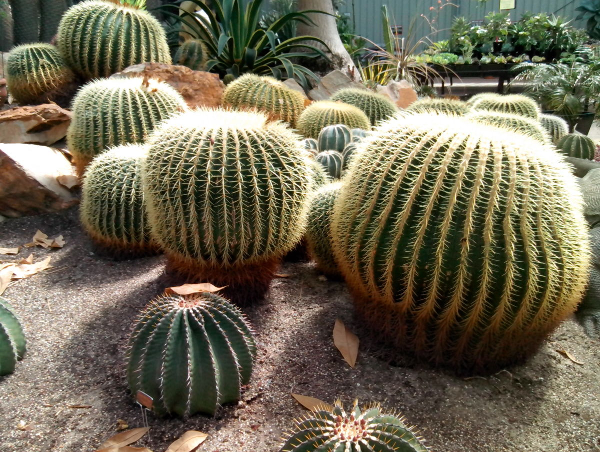 It will take 30-40 years for a barrel cactus to grow to a diameter of one metre. These cacti do not flower until around 10 years old.
