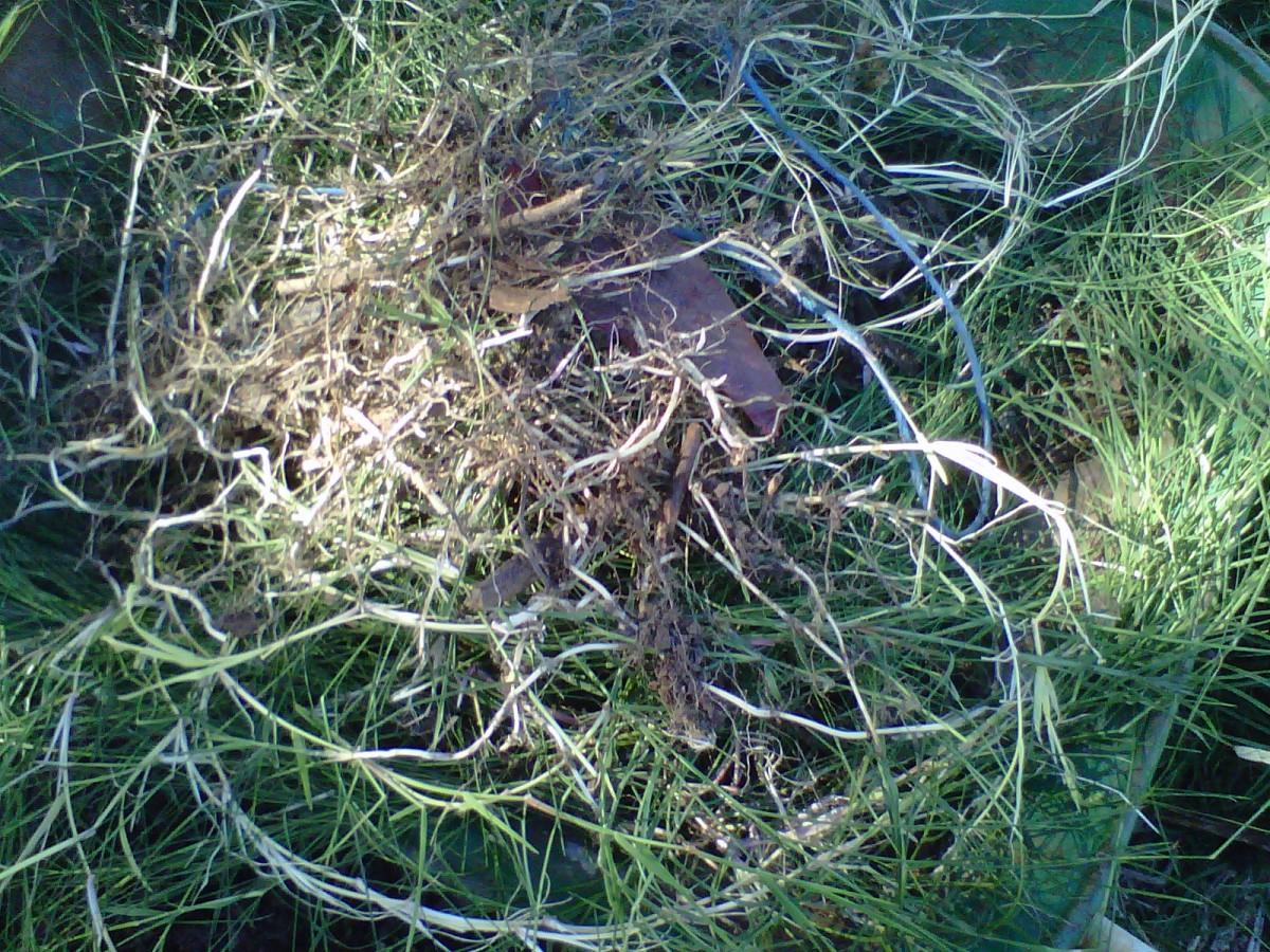 Bermuda Grass. Notice the crisp, white rhizomes as runners.