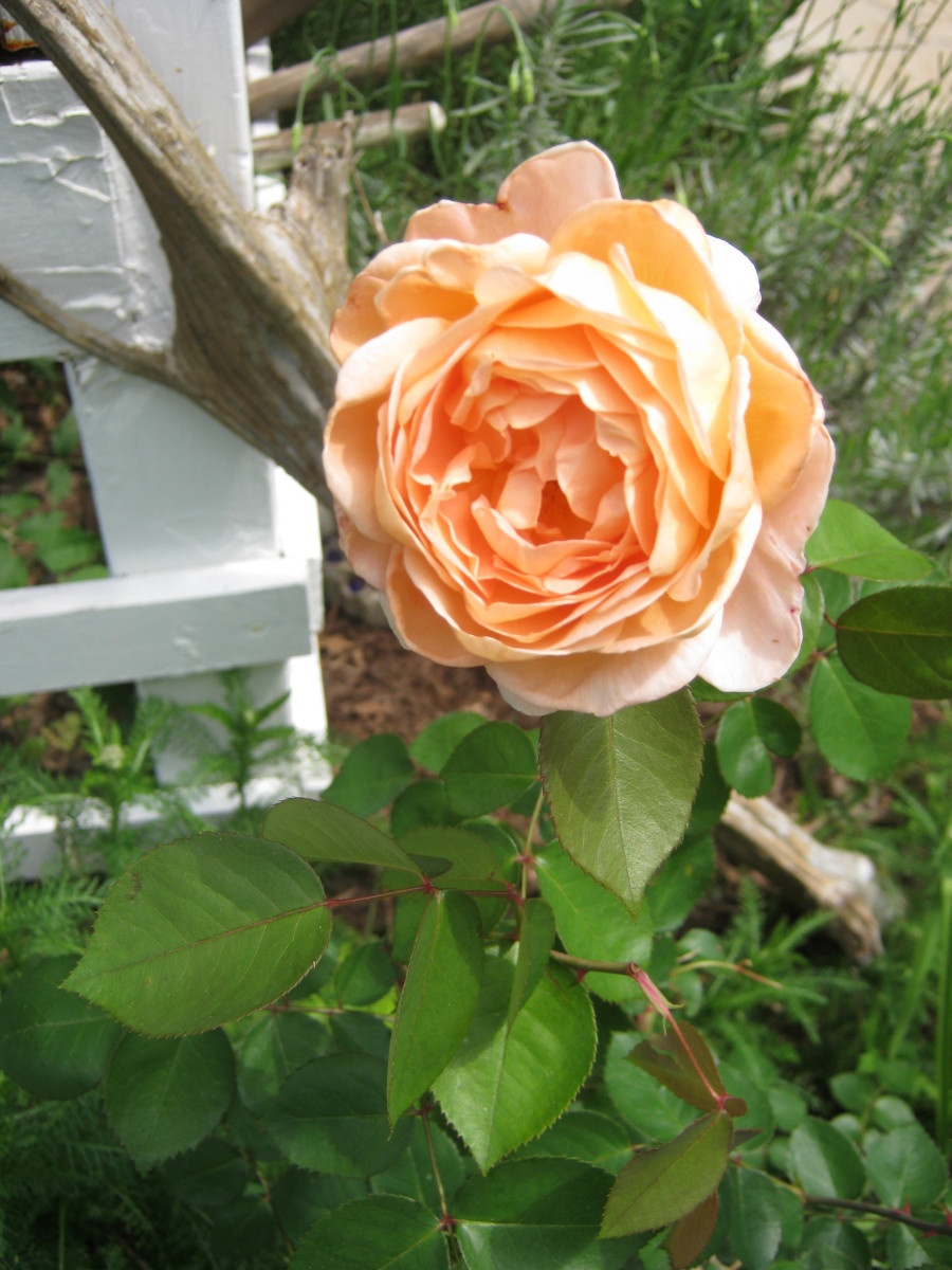 This David Austin rose has a gentle citrus scent