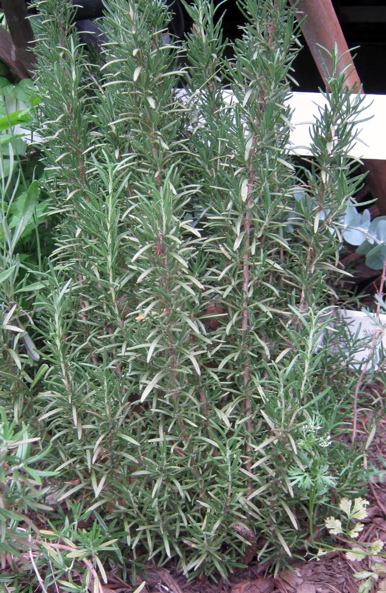 aromaticplantsforahomegardendesign