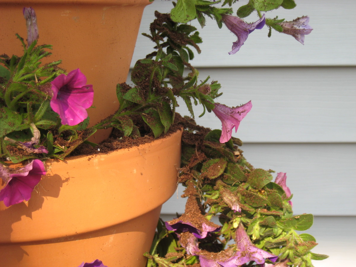 It's okay if the flowers are covered in dirt while planting, they will still thrive.