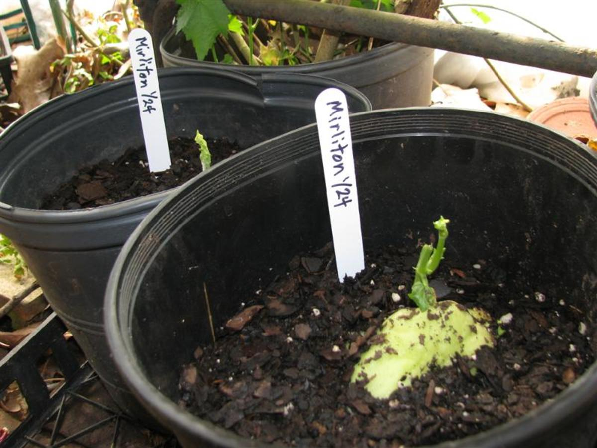 Mirliton sprouting in a winter greenhouse.
