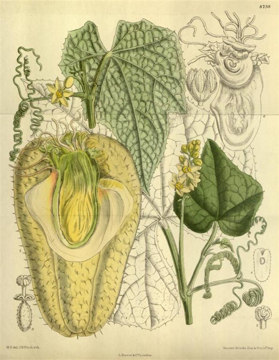 Botanical sketch of a mirliton vine and fruit. The scientific name is Sechium edule.