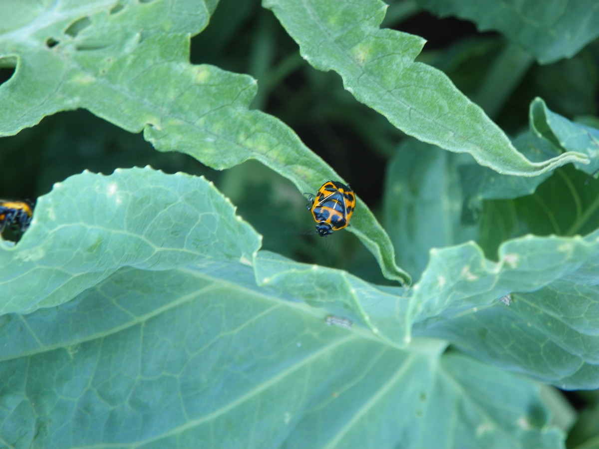 Here, a lone Harlequin Bug teeters on the edge . . . except there is no such thing as a lone Harlequin Bug.