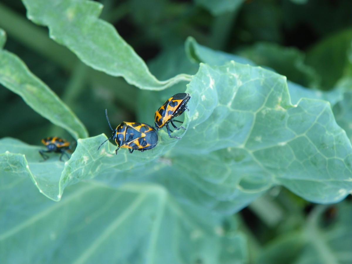 These are striking bugs to watch and know, but they leave a path of devastation.